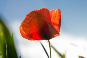 Red poppies from a WWI poem