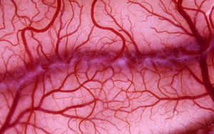 Angiogenesis forms blood vessels from existing blood vessels